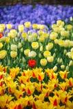 Blauwe, gele en rode bloemen Stock Foto