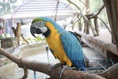 Blauwe, gele, groene, zwart-witte papegaai die zich op een tak bevinden Stock Afbeelding