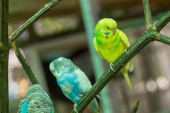 Blauwe gele kleurrijke undulatus van grasparkietmelopsittacus zingend drie vogels die op bevederd zitten tak leuk budgie royalty-vrije stock foto's