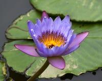 Blauwe Gele Waterlelie en Stootkussens Stock Foto's