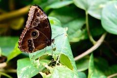 Blauwe Gemeenschappelijke Morpho-vlinder Stock Foto's