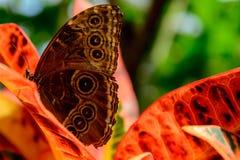 Blauwe Gemeenschappelijke Morpho-vlinder Stock Afbeelding