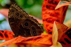 Blauwe Gemeenschappelijke Morpho-vlinder Royalty-vrije Stock Afbeeldingen