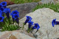Blauwe gentiaan Stock Afbeeldingen