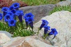 Blauwe gentiaan Stock Fotografie