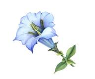 Blauwe gentiana acaulescent Stock Afbeeldingen