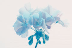 Blauwe Geraniium Stock Foto's