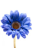 Blauwe gerbera. Stock Foto