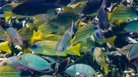 Blauwe gestreepte snapper, Bigeye keizer, de Maldiven royalty-vrije stock afbeelding