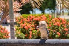 Blauwe gevleugelde kookaburra royalty-vrije stock fotografie