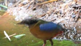 Blauwe gevleugelde Pitta-vogels in Zuidoost-Azië stock video