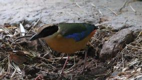 Blauwe gevleugelde Pitta-vogels in Zuidoost-Azië stock footage