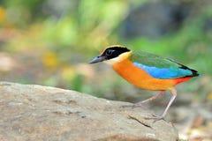 Blauwe gevleugelde vogel Pitta Stock Afbeeldingen
