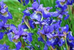 Blauwe gladioluses Royalty-vrije Stock Foto
