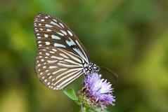 Blauwe glazige tijgervlinder Stock Afbeelding