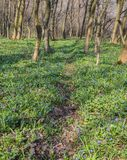 Blauwe glorie-van-de-sneeuw bloemen Royalty-vrije Stock Foto's