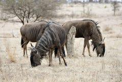 Blauwe Gnoe, Blue Wildebeest, Connochaetes taurinus royalty free stock photos