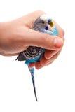 Blauwe golvende papegaai in de mannelijke hand Royalty-vrije Stock Foto