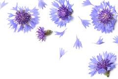 Blauwe graanbloem royalty-vrije stock fotografie