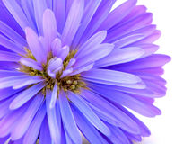 Blauwe graanbloem royalty-vrije stock afbeeldingen