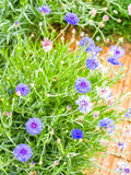 Blauwe graanbloem Royalty-vrije Stock Afbeelding