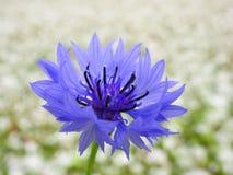 Blauwe graanbloem royalty-vrije stock foto