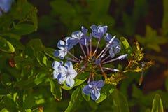Blauwe grafietbloemen royalty-vrije stock afbeelding