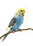 Blauwe grasparkietenvogel Royalty-vrije Stock Afbeeldingen