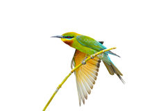 Blauwe grasparkietenvogel Royalty-vrije Stock Afbeelding