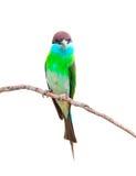 Blauwe grasparkietenvogel Royalty-vrije Stock Foto's