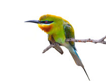 Blauwe grasparkietenvogel Stock Fotografie