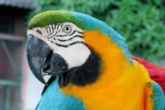 Blauwe, groene en gele veren tropische papegaai Stock Afbeelding
