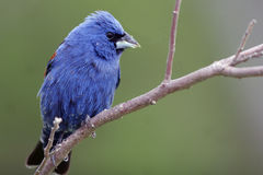 Blauwe Grosbeak, caerulea Guiraca Royalty-vrije Stock Foto's