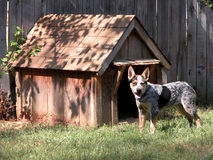 Blauwe Heeler buiten Zijn Huis van de Hond Stock Foto's