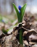 Blauwe heldere bloem van de sneeuwklokje de eerste lente bij lang bos Stock Fotografie