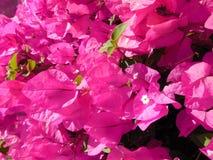Blauwe hemel als achtergrond, roze bloemen Stock Foto