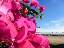 Blauwe hemel als achtergrond, roze bloemen en overzees Royalty-vrije Stock Fotografie