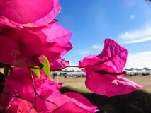 Blauwe hemel als achtergrond, roze bloemen en overzees Royalty-vrije Stock Foto's