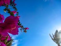 Blauwe hemel als achtergrond, roze bloemen en palm Royalty-vrije Stock Foto