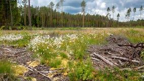 Blauwe hemel, bos en bloeiend moeras in Europa Stock Foto's