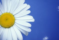 Blauwe hemel Daisy Royalty-vrije Stock Foto's