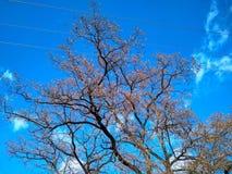 Blauwe hemel en een mooie acaciaboom zonder gebladerte stock foto