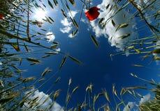 Blauwe hemel en tarwe Royalty-vrije Stock Afbeelding