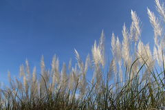 Blauwe hemel en wit lang gras Stock Foto