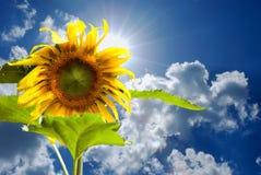 Blauwe hemel en zonnebloem Stock Fotografie