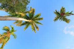Blauwe hemel met palmen Gezien van onderaan stock afbeelding