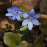 Blauwe hepatica Royalty-vrije Stock Foto