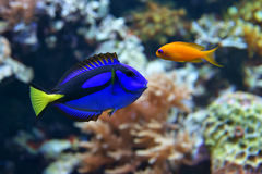 Blauwe hepatus van zweempjeparacanthurus, en Dottyback stock afbeeldingen