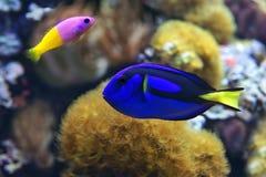 Blauwe hepatus van zweempjeparacanthurus, en Tweekleurige paccagnella van Dottyback Pictichromis royalty-vrije stock foto's