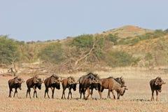 Blauwe het meest wildebeest royalty-vrije stock foto's